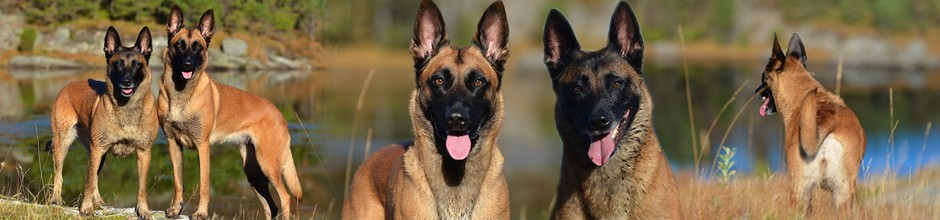 Extraction-Malinois
